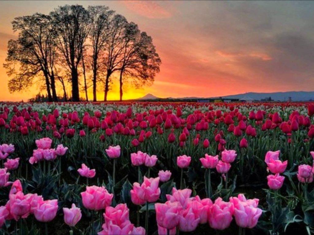 tulip garden in srinagar kashmir